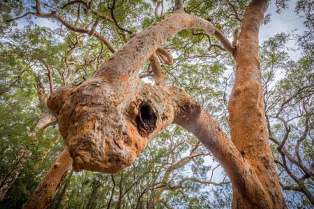 a Sydney red gum (Angophora costata) showing inosculation, a trunk growing in on itself Stock Photo