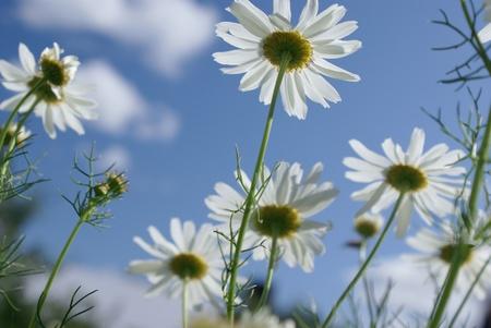 soften: Soften white field flowers on sunny day