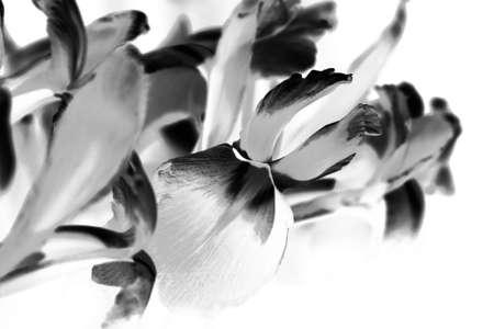 blackwhite: stylised in black-white iris flower