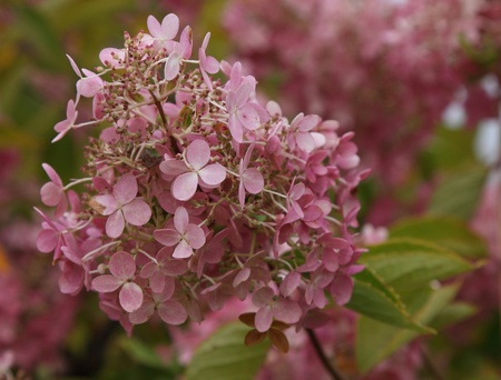 bunchy: A banch of rose-colored soft flowers