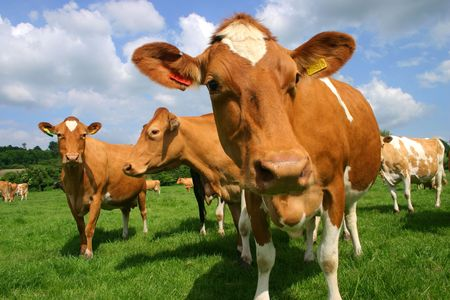 on pasture: A group of Jersey cows in pasture photographed at close quarters Stock Photo