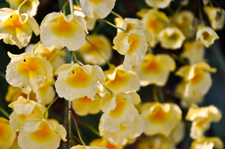 dendrobium: Dendrobium lindleyi steud yellow Orchid