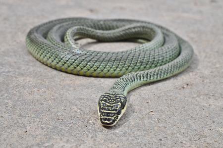 golden tree snake photo