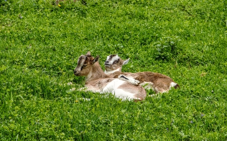 nanny goat: Two Small Goatlings Lie on Grass Field Stock Photo