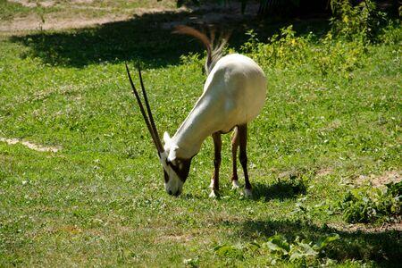 hoofed: Oryx Arabian is Feeding on Meadow