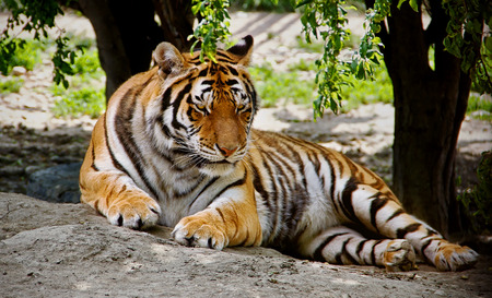 felid: Siberian Lying Tiger in Summer Stock Photo