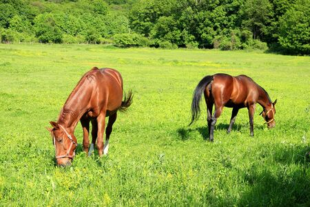 trooper: Two Brown Riding Horses are Feeding on Grass Stock Photo