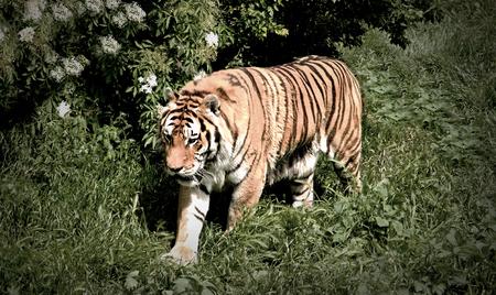 felid: Tiger Walks on Hayfield Stock Photo