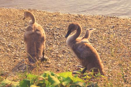 trumpeter swan: Swan Puppies on Lake Shore