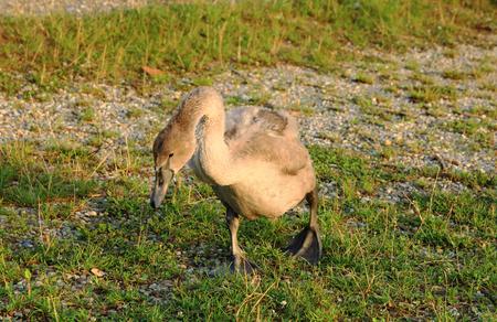 trumpeter swan: Small Swan Walks on Lake Shore