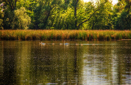cane creek: Lake Bay Lined with Cane and Swans in the Middle