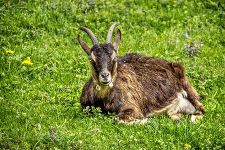 nanny goat: Goat Feeds on Grass