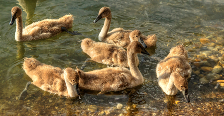 trumpeter swan: Small Swan Family on Lake