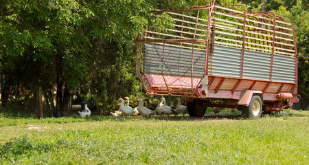 bevy: Goose Flock with Agriculture Siding on Farm Stock Photo
