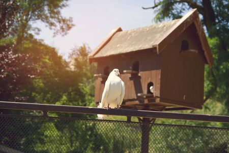 fantail: White Dove on Fence with Pigeon House