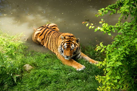 siberian tiger: Siberian Tiger is Taking Bath