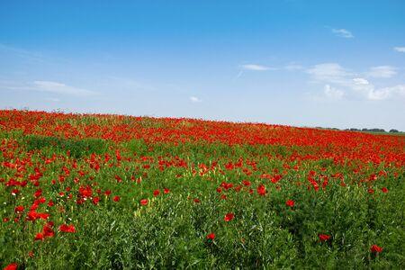 field of corn poppy flowers: Field of Corn Poppy with Blue Sky Above