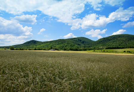 farm house: Corn Field with Farm House under Forested Hill