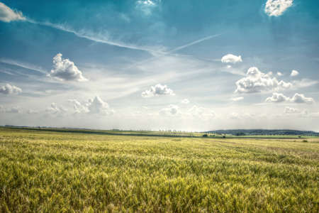 panoramatic: Wheat Field with Dramatic Clouds Above