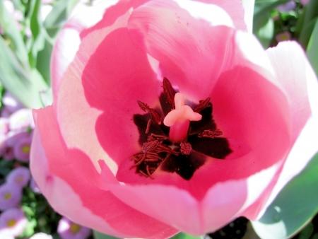 floriade: Pink tulip at Floriade Fair, Canberra, Australia