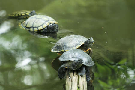 cooter: four turtles aligned in tree root with focus on second turtle only Stock Photo