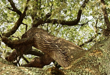 fagaceae: very old oak tree view from bottom, great angle Stock Photo