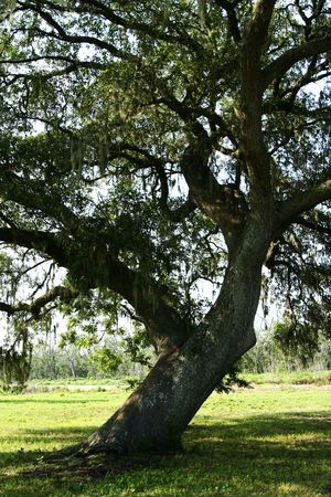 fagaceae: very old oak tree view from side Stock Photo