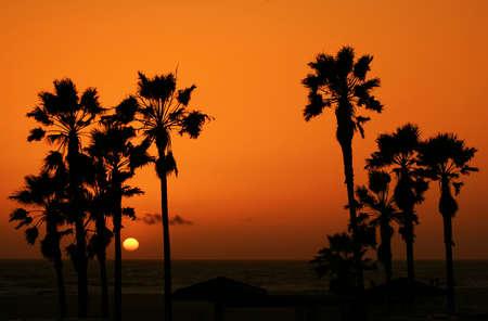 the setting sun: sunset at venice beach. palm trees silhouette againts orange sky and setting sun