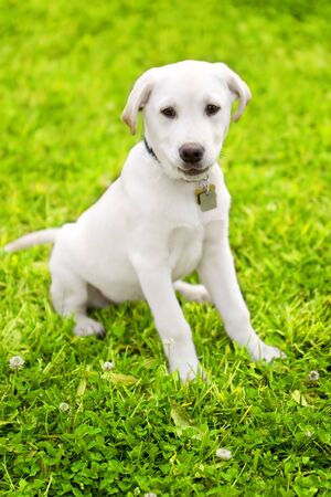 cute little dog staying on grass look innocent. the breed is labrador mixed white cream color photo