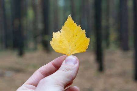 Hand holds yellow autumn leaf on forest background