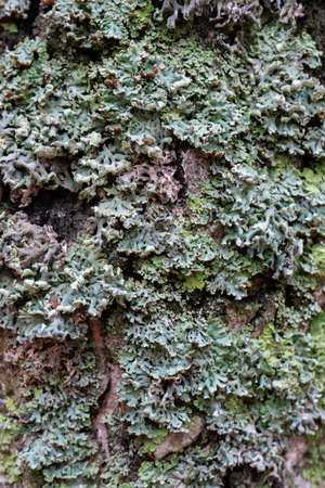 Green-blue lichen and moss on a tree bark