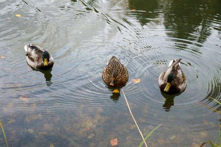 Wild ducks swim in the lake Banco de Imagens