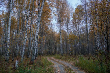 The road through the autumn birch forest