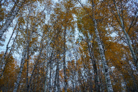 Autumn birch forest and blue sky