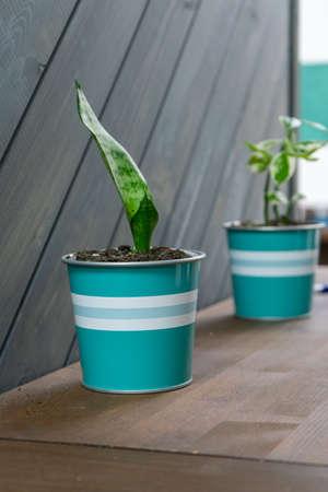 Indoor plant in a blue pot closeup