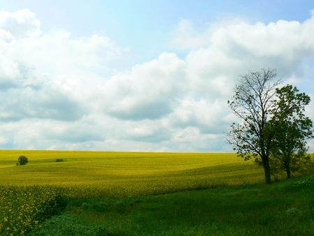 Outdoor landscape with green grassy field in foreground and bright golden yellow field in background against a brilliant blue sky. Stock Photo - 5836989