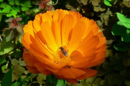 Colorful Gerber Daisy with worker-bee. photo
