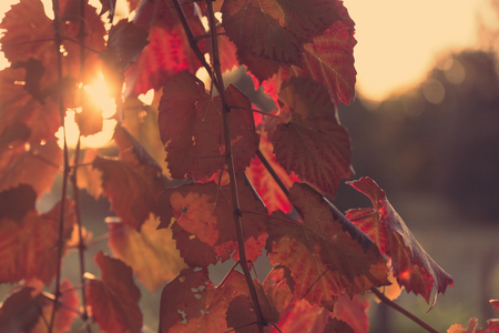 conservation: Autumn colours on vines at sunset in Hawkes Bay New Zealand