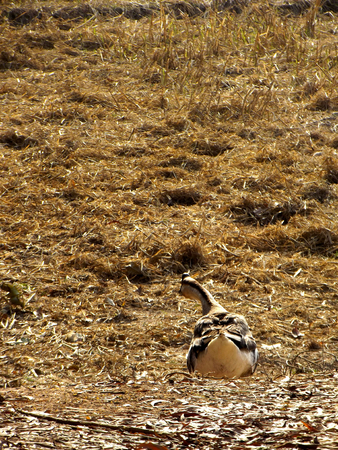 recluse: goose in the countryside at morning time Stock Photo