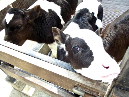 squalid: small poor cows in seta  Stock Photo