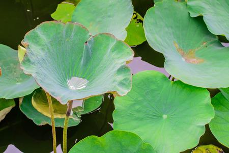 bionics: Water drop on lotus leaf