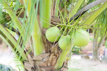Closer Coconut cluster on Tree of sea sky bright atmosphere. Coconut cluster on coconut tree