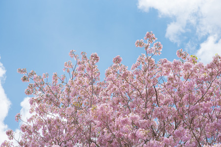 Tabebuia rosea is a Pink Flower neotropical tree and blue sky. common name Pink