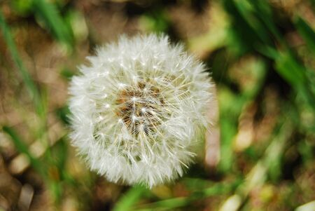 weightless: Dandelion, white, blowball, flower, summer, nature, macro