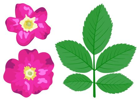 dogrose: Dogrose leaves and flowers is isolated on a white background