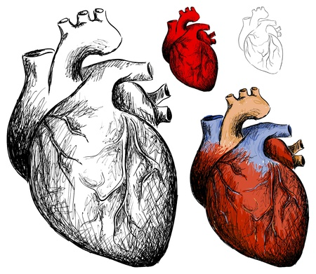 human heart anatomy: Vector realistic hearts collection on a white background