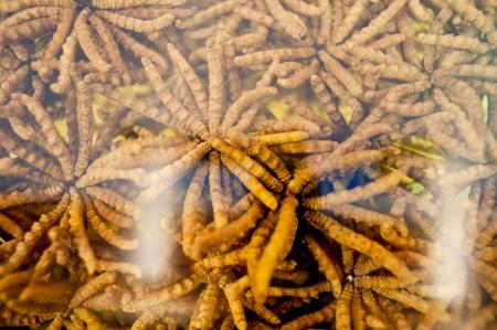 Chinese herbal medicine, Chinese caterpillar fungus Stock Photo - 16279172