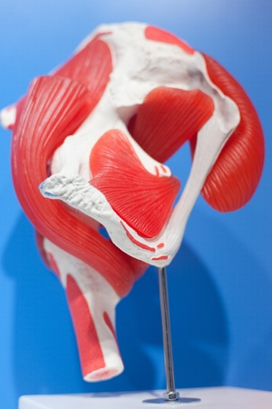 Human organs, muscle tissue model