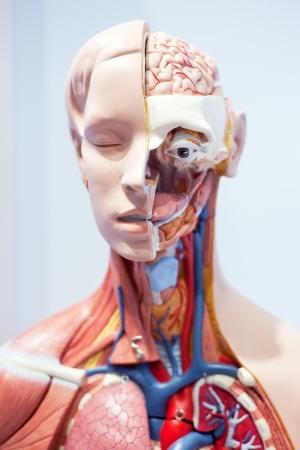 Les organes humains, le mod�le Banque d'images
