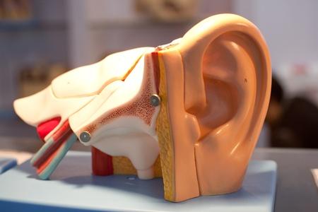 Models of human organs, ears